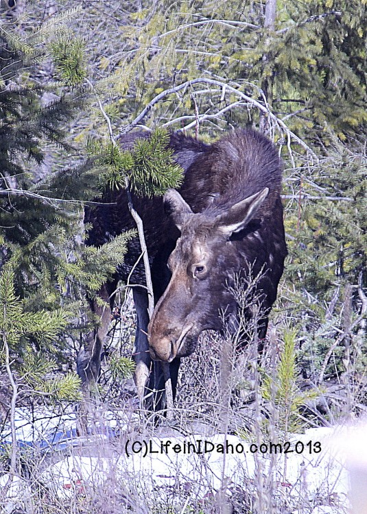 moose day 2 eating wm
